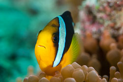 BD-130713-Maldives-0524-Amphiprion-clarkii-(Bennett.-1830)-[Yellowtail-clownfish].jpg